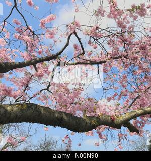 London, UK. 14th Apr, 2018. A cherry blossom tree on Wimbledon Common on Saturday April 14th, as London enjoys a warm Spring day after a damp and wet Easter. Credit: Katie Collins/StockimoNews/Alamy Live News - Stock Photo