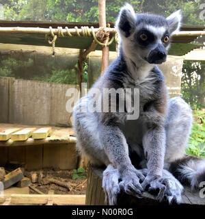 London, UK. 2nd June 2018. Lemur at London Zoo Credit: Secret.traveler/StockimoNews/Alamy Live News - Stock Photo