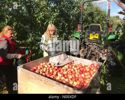 Apple harvest at Suckley Worcestershire UK - EU seasonal workers picking Gala apples in autumn sunshine at Stocks Farm Worcestershire. - Stock Photo