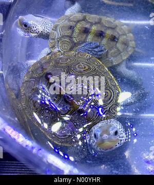 Sturtevant, Wisconsin, USA. 11th Nov, 2018. Annual Fall SEWERFest. South East Wisconsin Exotic Reptile (SEWER) Festival showcases various pet reptiles, DianaJ/Stockimo News/Alamy Credit: Diana J./StockimoNews/Alamy Live News - Stock Photo