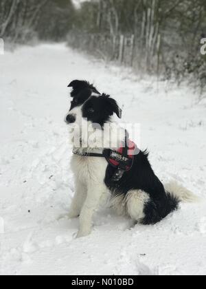 Harwell, Didcot, Oxfordshire, UK. 1st February, 2019. Border Collie puppy in the snow, Harwell, Didcot, Oxfordshire, UK Credit: rosannamariesaracino/StockimoNews/Alamy Live News Credit: rosannamariesaracino/StockimoNews/Alamy Live News - Stock Photo