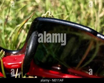 Winter moth caterpillar can cause significant forest loss. The Easter warm weather caused newly hatched larvae to drop on silk threads from trees and in this case, ride on sunglasses, England - Stock Photo
