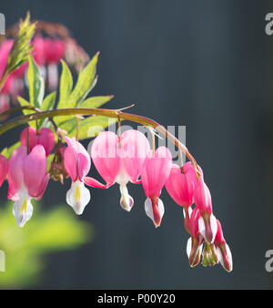 Close up of a stem with multiple bleeding heart flowers on it against a dark gray background. Photographed in natural light with a shallow depth of fi - Stock Photo