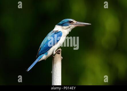 beautiful Collared Kingfisher(Todiramphus chloris) in Thai forest - Stock Photo