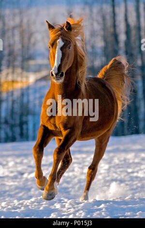 Arabian chestnut Stallion galloping in a snowy field in late winter. - Stock Photo
