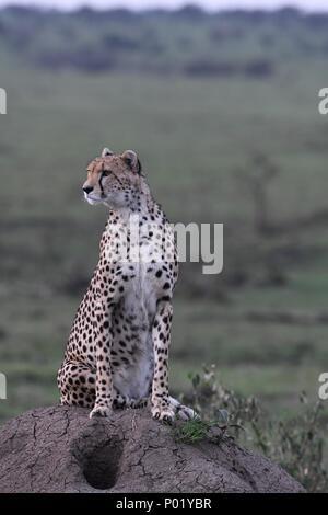 Lone cheetah sitting on the green Maasai Mara savannah looking for prey. Picture taken early morning, Olare Motorogi Conservancy. Acinonyx jubatus
