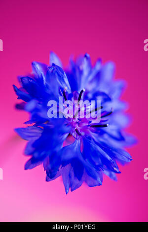 Blue fresh cornflower on the pink background - Stock Photo