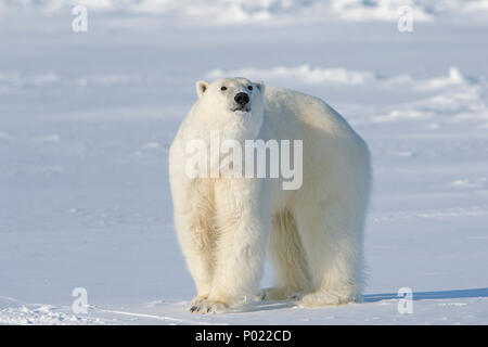 Polar Bear (Ursus maritimus, synonym Thalarctos maritimus), Nunavut Territory, Canada - Stock Photo