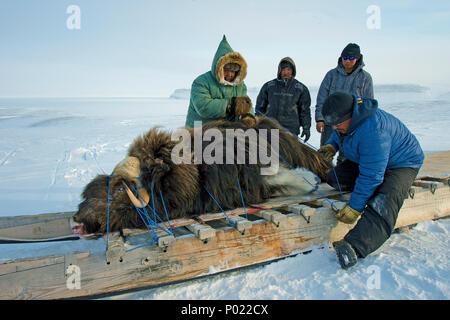 Huntsman transport a shot Muskox (Ovibus moschatus) on a sledge, Nunavut teritorry, Canada - Stock Photo
