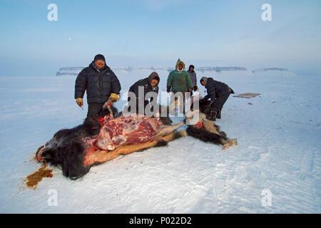 Huntsman skinning shot Muskox (Ovibus moschatus), Nunavut teritorry, Canada - Stock Photo