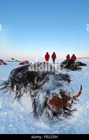 Huntsman with shot Muskox (Ovibus moschatus), Nunavut teritorry, Canada - Stock Photo