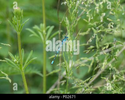 A distinctive male common blue damselfly resting on foliage - Stock Photo