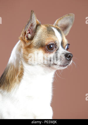 Chihuahua dog portrait in studio with brown background - Stock Photo
