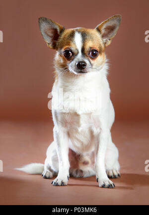 Chihuahua portrait in studio with brown background - Stock Photo