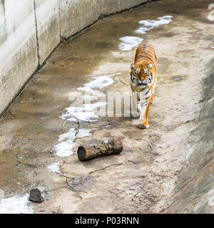 The Siberian tiger, also called the Amur tiger, walks around the aviary on a winter day. - Stock Photo