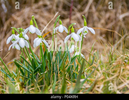 low angle shot of some abloom snowdrop flowers - Stock Photo