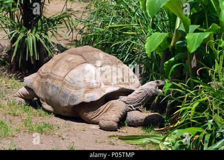 Aldabra giant tortoise (Aldabrachelys gigantea), Bioparco, Rome, Lazio, Italy - Stock Photo