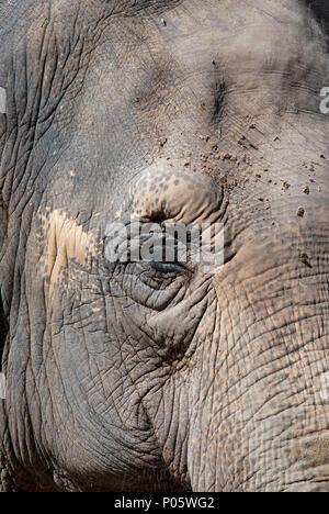 Asian elephant, Elephas maximus, Bioparco, Rome, Lazio, Italy - Stock Photo