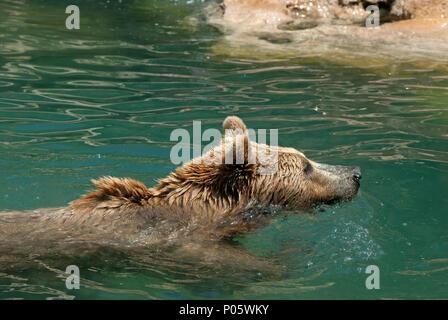 Brown bear, Ursus arctos, Bioparco, Rome, Lazio, Italy - Stock Photo