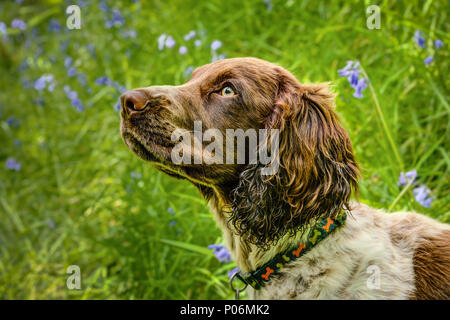 A horizontal portrait of a puppy dog liver brown and white. A cross bred Sprocker being a mix of Springer and Cocker Spaniels, on a green background. - Stock Photo