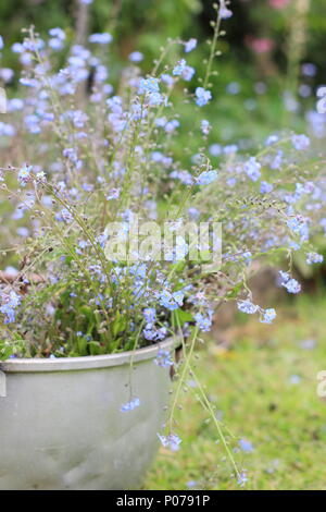 Myosotis. Clearing forget me not flowers (Myosotis), from the border of an English garden into an old metal container in late spring, UK - Stock Photo