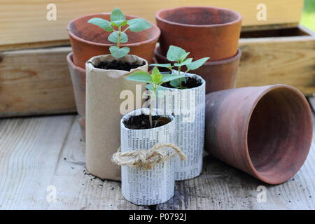 Plastic free gardening. Old clay pots, wooden seed trays and home made paper pots for seedlings used to reduce plastic use in the garden, England,UK - Stock Photo