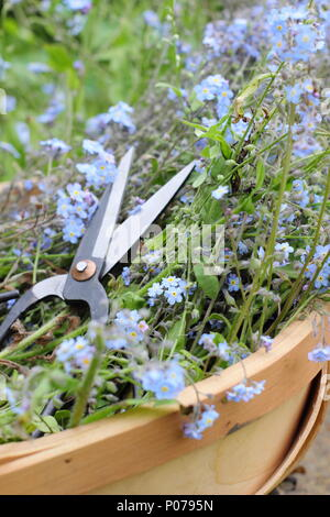 Myosotis. Clearing forget me not flowers (Myosotis), from the border of an English garden into a trug in late spring, UK - Stock Photo