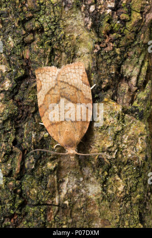 Johannisbeer-Breitwickler, Johannisbeerbreitwickler, Pandemis cerasana, barred fruit-tree tortrix, Barred fruit tree tortrix moth, La Tordeuse des arb - Stock Photo