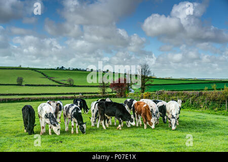 A horizontal landscape of a small herd of young suckling calfs grazing on fresh green grass on Cornish farmland on a beautiful clear spring day. - Stock Photo