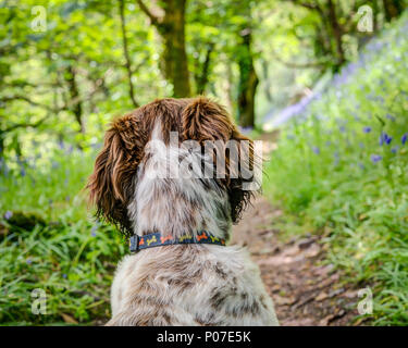 A female puppy, liver brown and white cross breed Sprocker Spaniel, Ruby is studying the bluebell wood and the magic of the forest that lies ahead. - Stock Photo