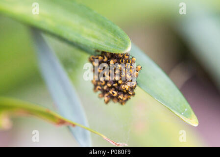 A cluster of baby European garden spiders (Araneus diadematus) - Stock Photo