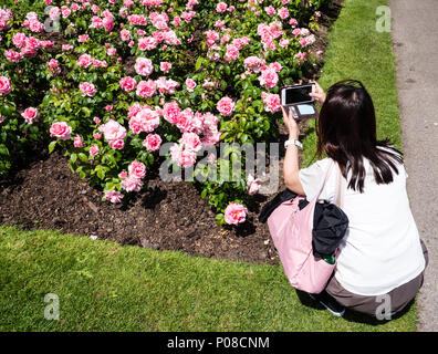Tourist Photographing Roses, Queen Mary's Gardens, Rose Garden, Regents Park, London, England, UK, GB. - Stock Photo