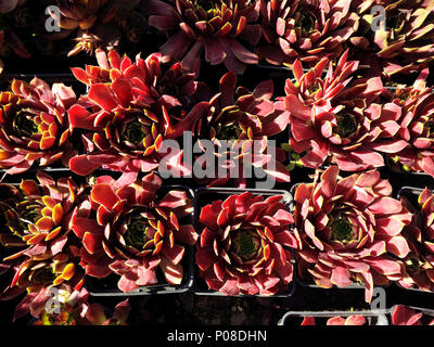 Red potted sempervivum succulents rosettes under summer sunlight from a high angle view - Stock Photo
