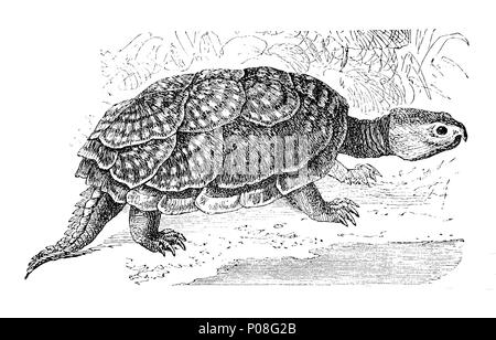 common snapping turtle, Schnappschildkröte, Chelydra serpentina, digital improved reproduction of an original print from the year 1881 - Stock Photo