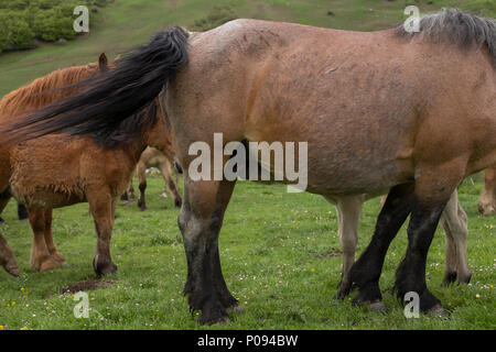 A foal is drinking its mother milk - Stock Photo