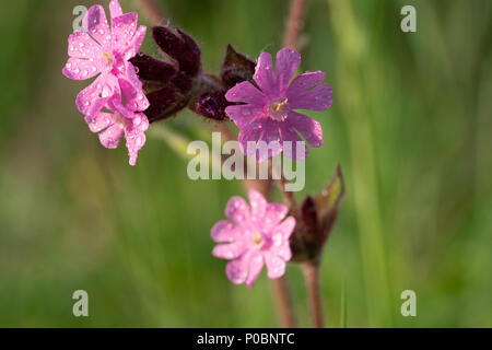 Red campion (Silene dioica) flowers. - Stock Photo