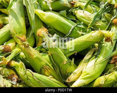 Fresh Taber Corn at the Market - Stock Photo