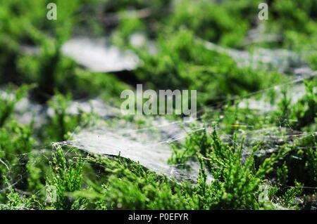 A common juniper bush (Juniperus communis) covered in many cobwebs, Spiders web. - Stock Photo