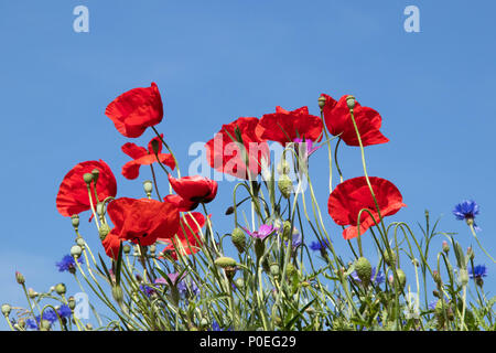 Poppies and other wild flowers growing by a new housing development in Bath - Stock Photo