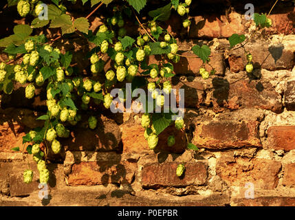 hops in the rays of the rising sun - Stock Photo