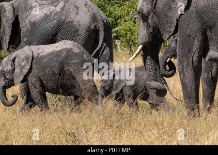 Group of african elephants wallowing in mud in vumbera in the okavango delta Botswana - Stock Photo
