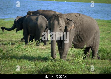 Elephants at Kaudulla National Park, Sri Lanka. - Stock Photo