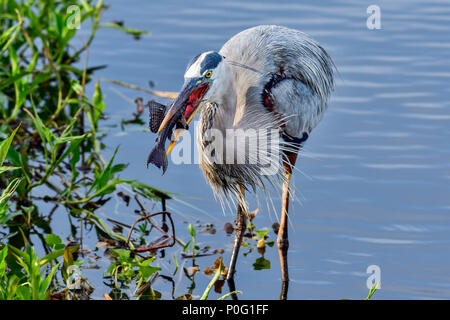 Great Blue Heron with first catch of the day. - Stock Photo