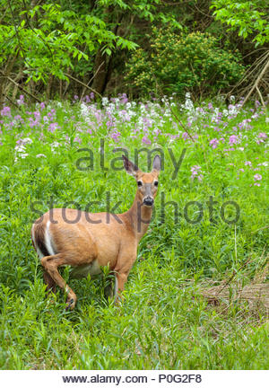 White-tailed deer Odocoileus virginianus at Lynde Shores Conservation Area in Whitby Ontario Canada - Stock Photo