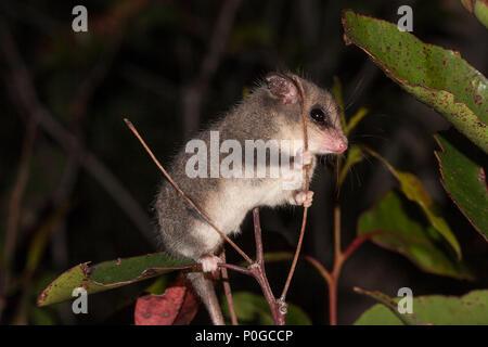 Cercartetus concinnus (Diprotodontia: Burramyidae ...