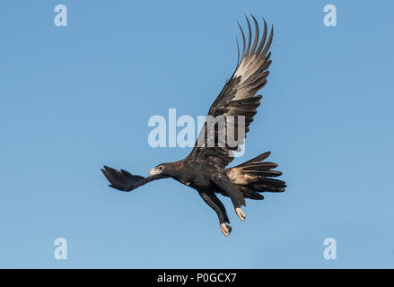 Wedge-tailed Eagle - Stock Photo