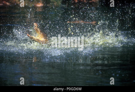 SALTWATER CROCODILE (CROCODYLUS POROSUS) THRASHING AROUND IN THE WATER, KAKADU NATIONAL PARK, NORTHERN TERRITORY, AUSTRALIA. - Stock Photo