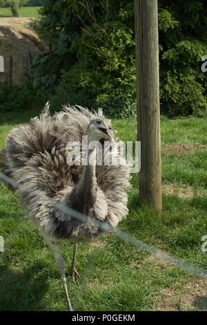 The greater rhea (Rhea americana) is a flightless bird on a farm in bavaria - Stock Photo