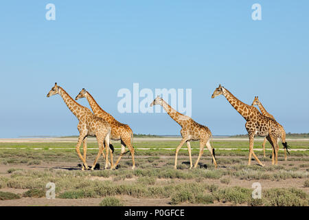 Giraffes (Giraffa camelopardalis) walking over the  plains of Etosha National Park, Namibia - Stock Photo