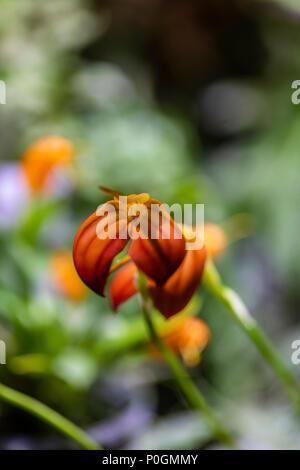 Red orange orchid flowers (Masdevallia ignea) - Stock Photo